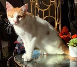 [picture of Dennis Hopper, a Domestic Medium Hair white/orange\ cat]