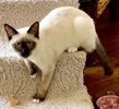 A picture of #ET04029: Prince a Siamese seal point