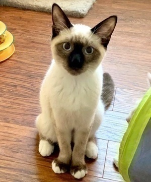 [another picture of Prince, a Siamese seal point\ cat]