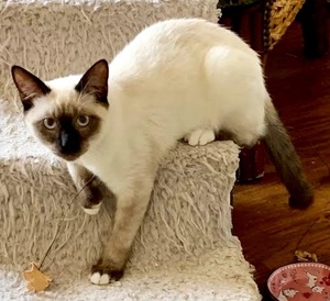 [picture of Prince, a Siamese seal point\ cat]