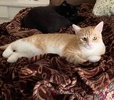 A picture of #ET04030: Halsey a Domestic Short Hair orange/white