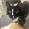 A picture of #ET04031: Eric a Domestic Short Hair black/white