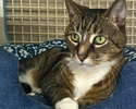 A picture of #ET00643: Clayton a Domestic Short Hair brown tiger tabby and white