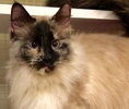 A picture of #ET00829: Tajia a Siamese tortie point long hair