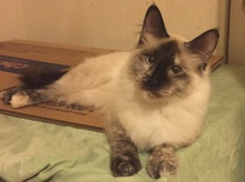 [picture of Tajia, a Siamese tortie point cat]