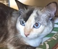 A picture of #ET00849: Chacha a Siamese tortie point