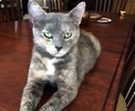 A picture of #ET00853: Orchid a Domestic Short Hair diluted tortie