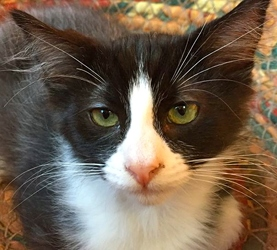 [picture of Felix, a Domestic Long Hair black/white cat]