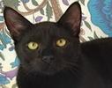 A picture of #ET00962: Oscar a Domestic Medium Hair black