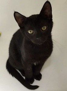 [another picture of Oscar, a Domestic Medium Hair black\ cat]