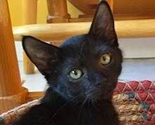 [picture of Oscar, a Domestic Medium Hair black\ cat]