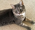 A picture of #NS01607: Joey a Domestic Short Hair silver tabby