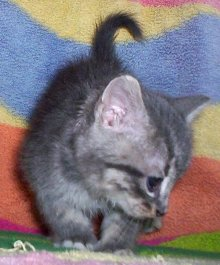[picture of Joey, a Domestic Short Hair silver tabby cat]
