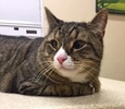 A picture of #NS01608: Jeremy a Domestic Short Hair brown tabby/white