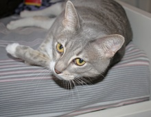 [another picture of Bailey FKA Sammy, a Domestic Short Hair gray tabby/white\ cat]