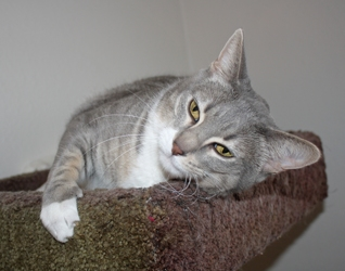 [picture of Bailey FKA Sammy, a Domestic Short Hair gray tabby/white cat]
