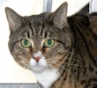 A picture of #NS03072: Sascha a Domestic Short Hair brown tabby/white