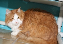 [another picture of Rosie, a Domestic Long Hair orange tabby/white\ cat]
