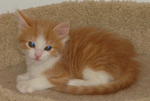 [picture of Rosie, a Domestic Long Hair orange tabby/white cat]