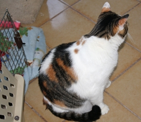 [picture of Rany AKA Rainbow, a Domestic Medium Hair calico cat]
