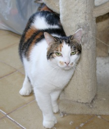 [picture of Rany AKA Rainbow, a Domestic Medium Hair calico\ cat]