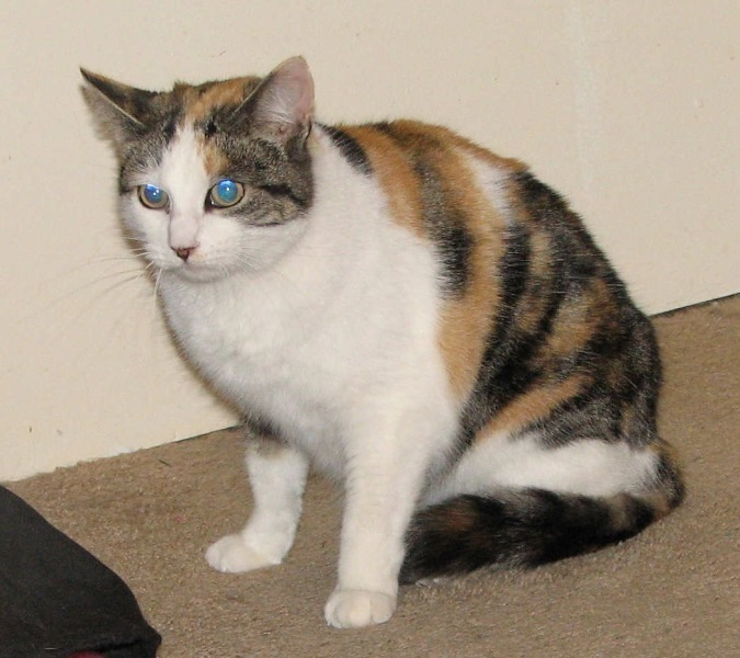 Cat Adoption San Diego County