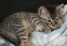 [another picture of Sammy, a Domestic Short Hair brown tabby\ cat]