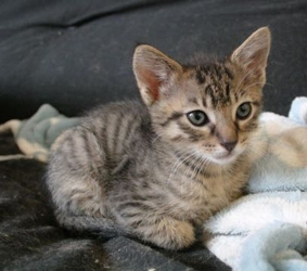 [picture of Sammy, a Domestic Short Hair brown tabby cat]