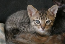 [picture of Sammy, a Domestic Short Hair brown tabby\ cat]