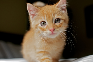 British Shorthair Red Tabby Cat Tabby Cat Tabby Cat Pictures Orange Tabby Cats