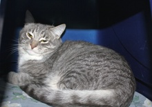 [another picture of Tank, a Domestic Short Hair gray tabby/white\ cat]
