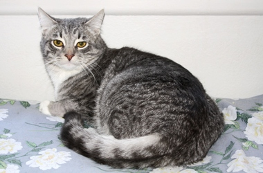 [picture of Tank, a Domestic Short Hair gray tabby/white cat]