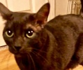 A picture of #NS04189: Alibus a Domestic Short Hair smoke/black