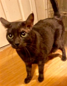 [another picture of Alibus, a Domestic Short Hair smoke/black\ cat]