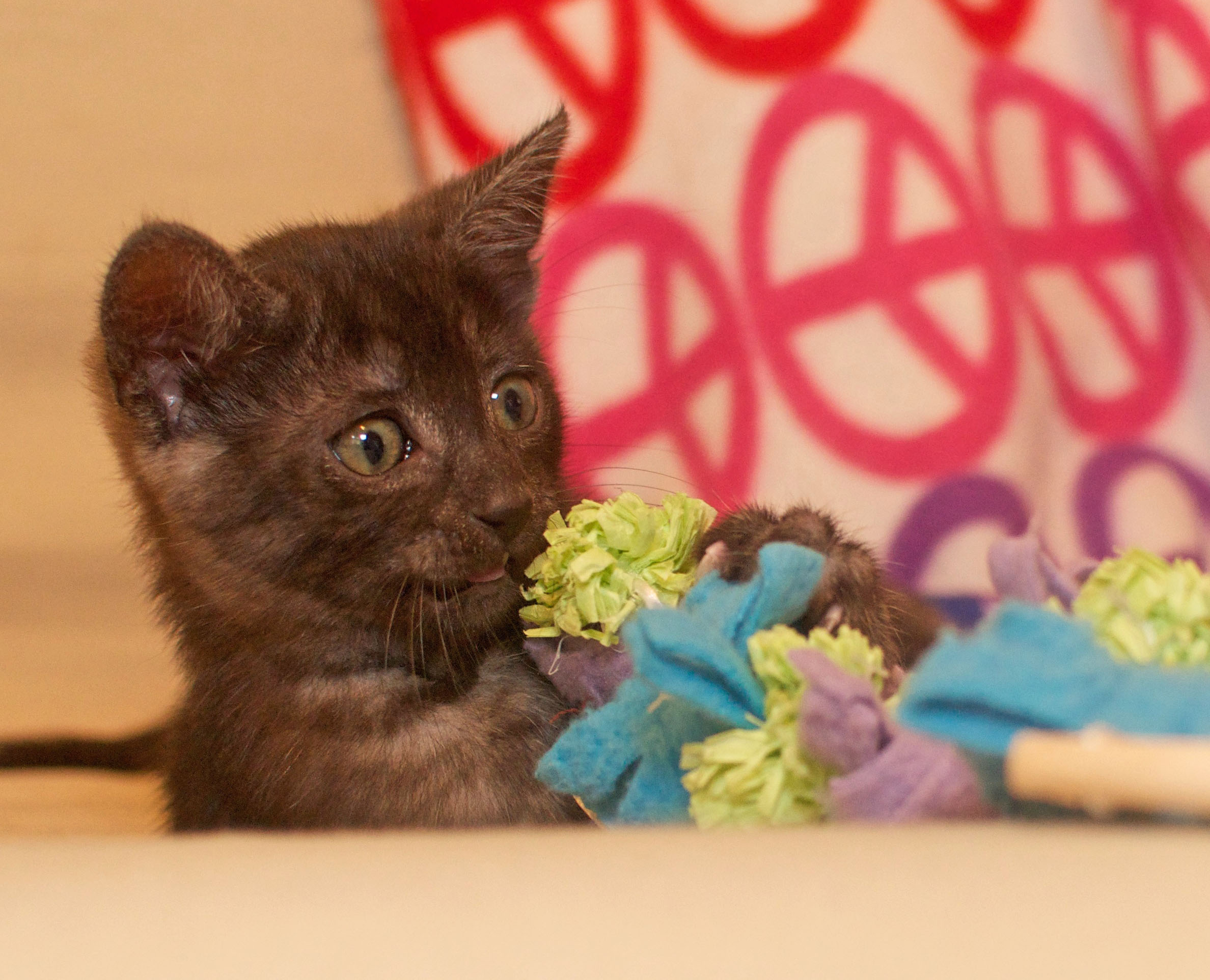 [picture of Alibus, a Domestic Short Hair smoke/black cat]