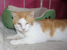 [another picture of Milo, a Domestic Short Hair orange tabby/white\ cat]
