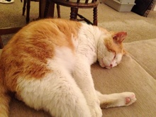 [picture of Milo, a Domestic Short Hair orange tabby/white cat]