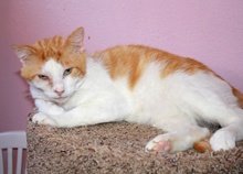 [picture of Milo, a Domestic Short Hair orange tabby/white\ cat]