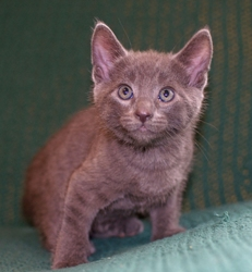 [picture of Smokey, a Domestic Short Hair gray cat]