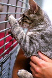 [picture of Ripple, a Domestic Short Hair gray tabby cat]
