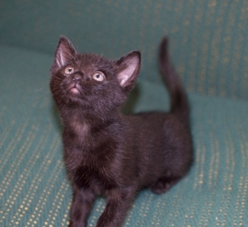 [picture of Blacky, a Domestic Short Hair black cat]