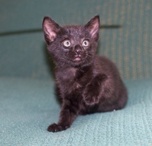 [picture of Blacky, a Domestic Short Hair black\ cat]