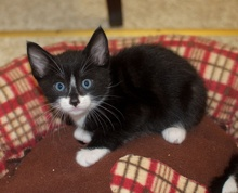 [another picture of Tux, a Domestic Short Hair black/white tuxedo\ cat]