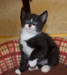 [picture of Tux, a Domestic Short Hair black/white tuxedo cat]