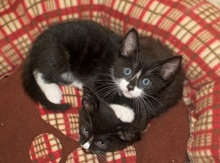 [picture of Tux, a Domestic Short Hair black/white tuxedo\ cat]