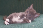 [picture of White Socks, a Domestic Short Hair gray/white cat]