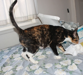 [picture of Shirley Partridge, a Domestic Short Hair tortoiseshell/white cat]