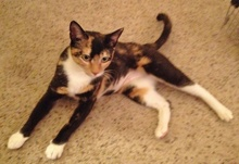 [picture of Shirley Partridge, a Domestic Short Hair tortoiseshell/white\ cat]