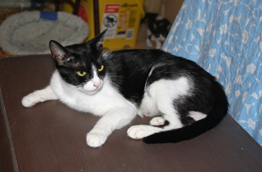 [picture of Luna, a Domestic Short Hair black/white cat]