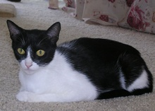 [picture of Luna, a Domestic Short Hair black/white\ cat]